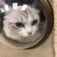 A grey and white striped cat looking out a porthole in his cat tower