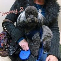 A grey and black poodle named Timmy sitting on his owners lap